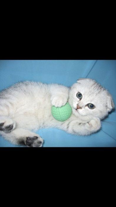 Вислоухие котята редкого окраса Шиншилла