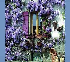 Plante,glicina chinezeasca mov,roz alba si albastru- violet..