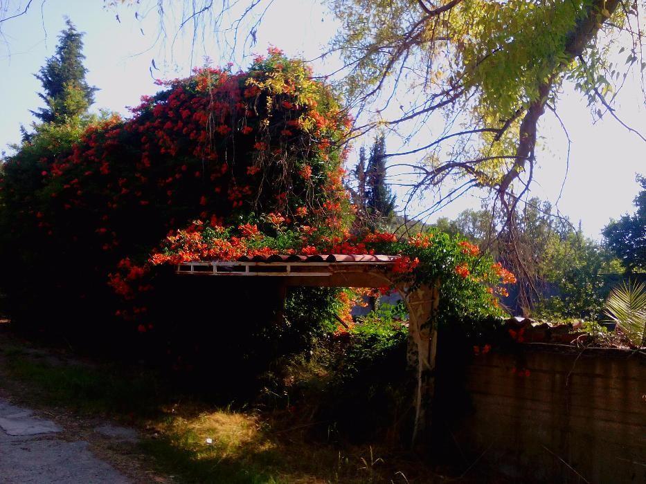 luleaua turcului galbena si rosie.#