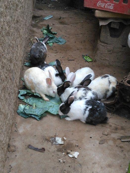 Venda de coelhos para a sua Coelhada...