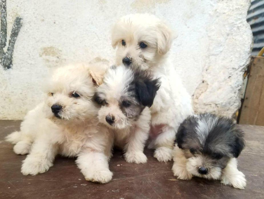 Poodles(Cães Caniches) lindíssimos minis