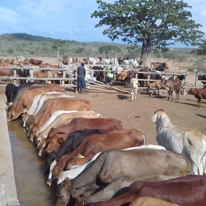 Vendo lote de gado para criação