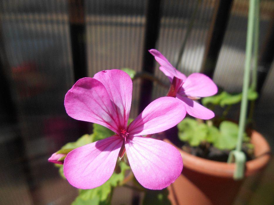 Muscata roz-mov romaneasca