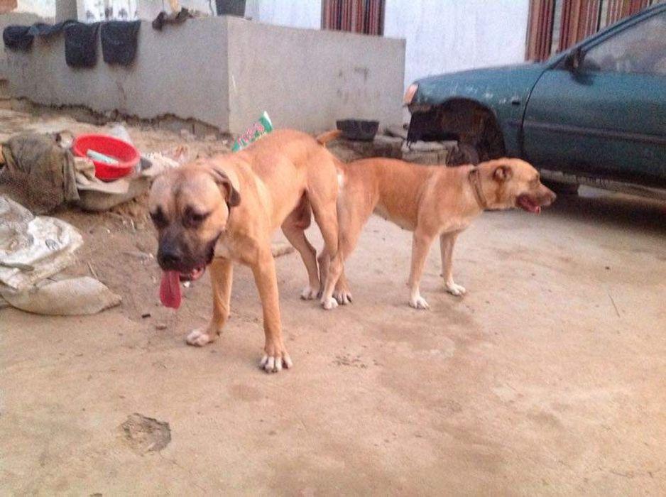 Vendo ou troco Filhotes, cães de grande porte