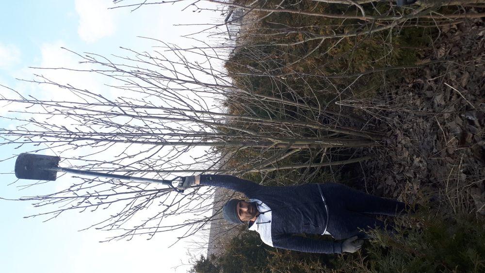 Magnolia copac 3-5 m