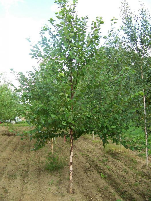 PEPINIERA/ mesteacan, platan, tei, magnolia, tuia, pin, gard viu etc