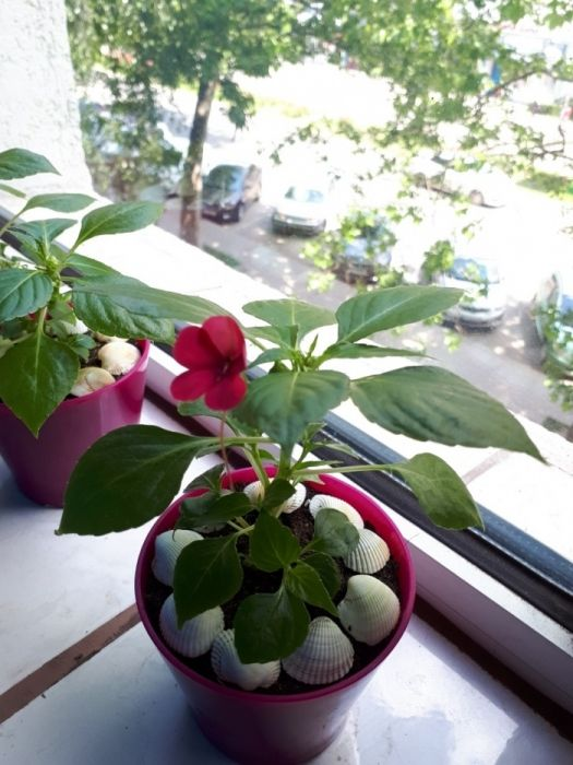 """Vand Impatiens, floare roz de apartament """"Sporul Casei""""!"""