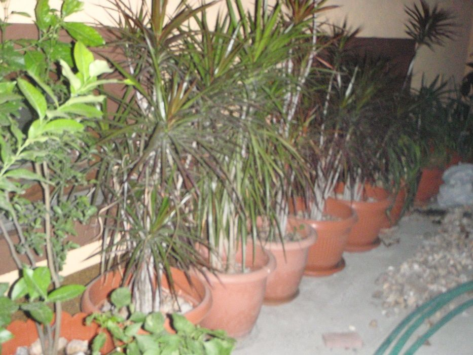 Dracaena Marginata - Planta de apartament