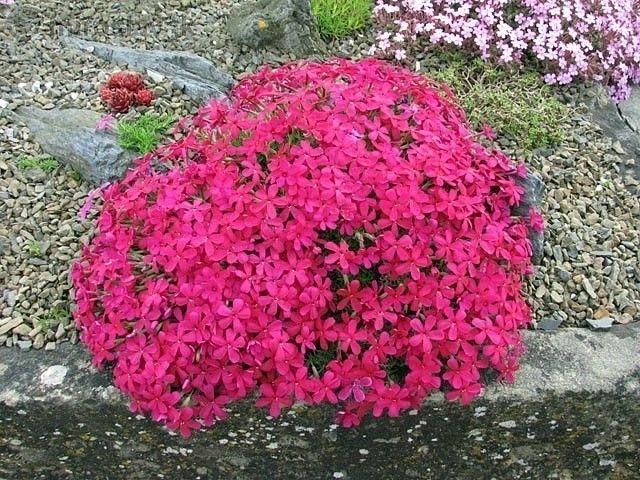 Флокс Многогодишно каскадно цвете