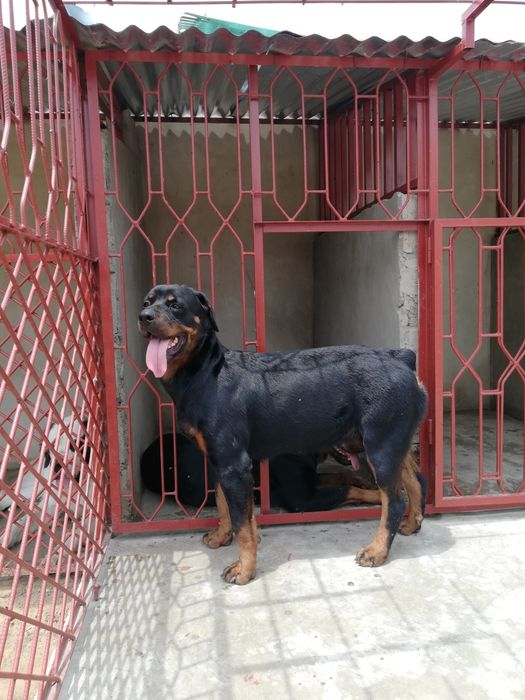 Royal Pets: Rottweiler