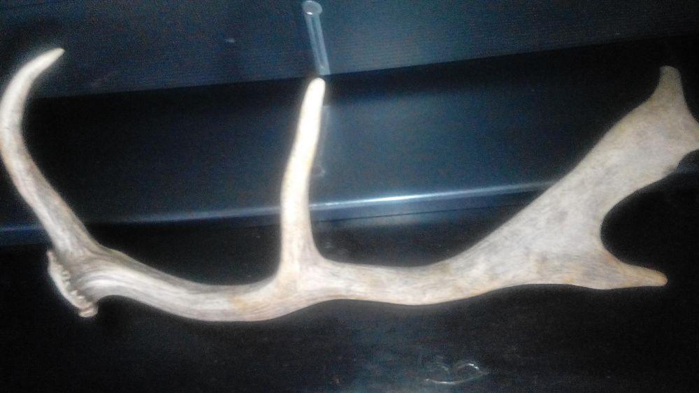 Еленов рог