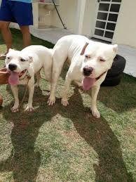Casais de Dogos Argentinos a venda