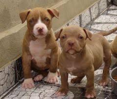 Filhotes de Pitbull