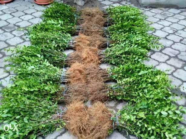 Plante de gard viu la pret minim - CRESTERE RAPIDA