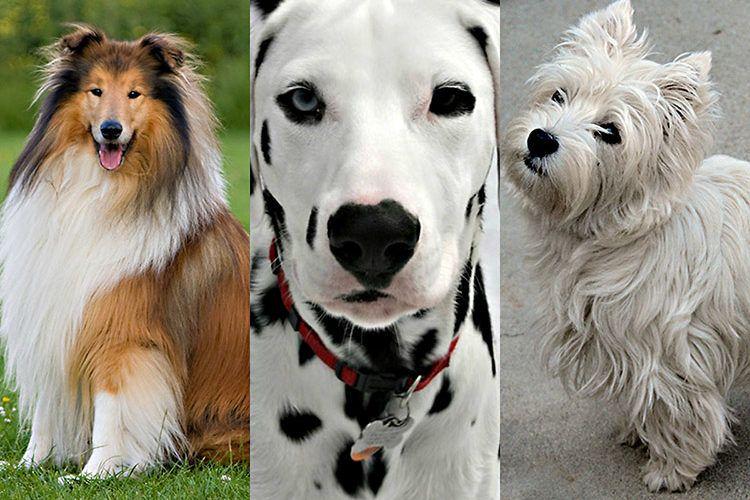 Cães de marca