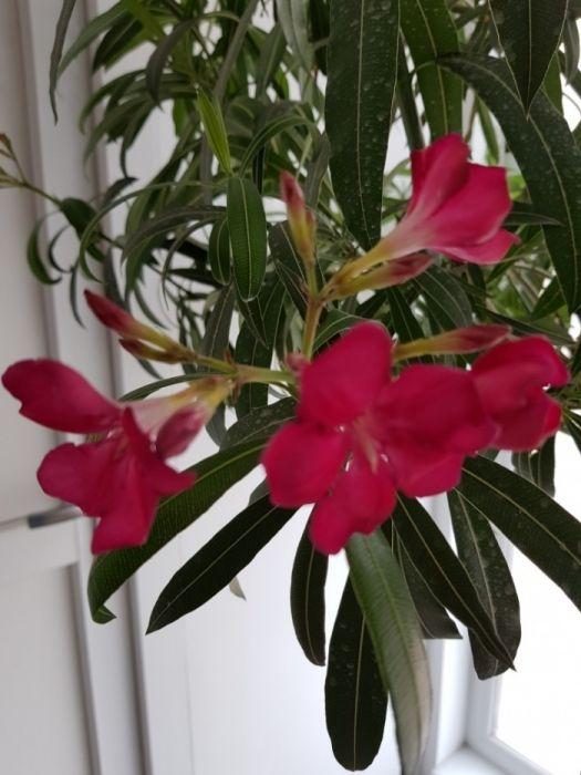 Leandru mare in ghiveci (flori,plante,arbusti)