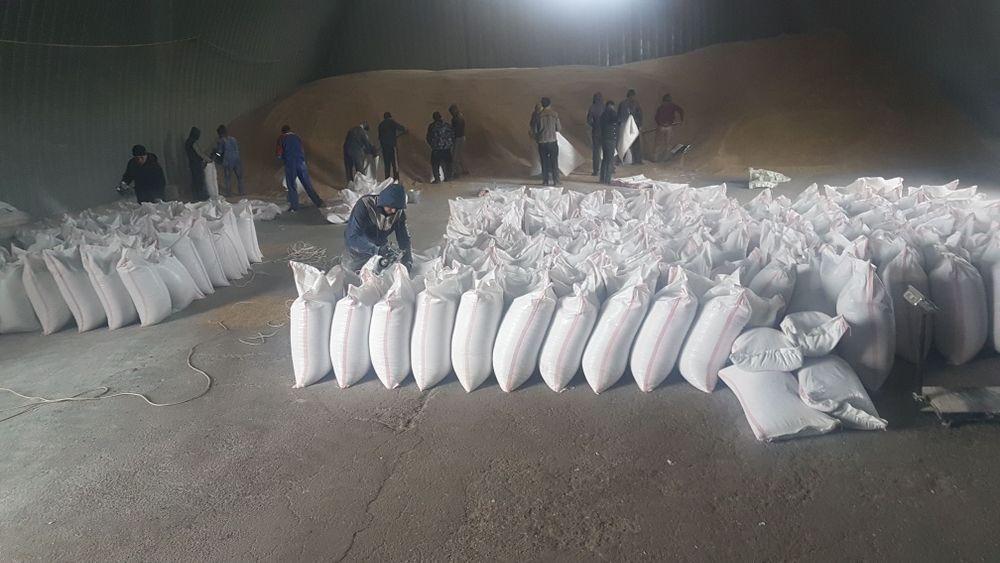 Пшеница чистая