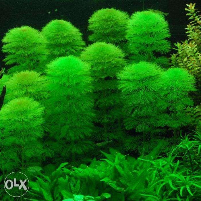 planta acvariu pesti Cabomba caroliniana