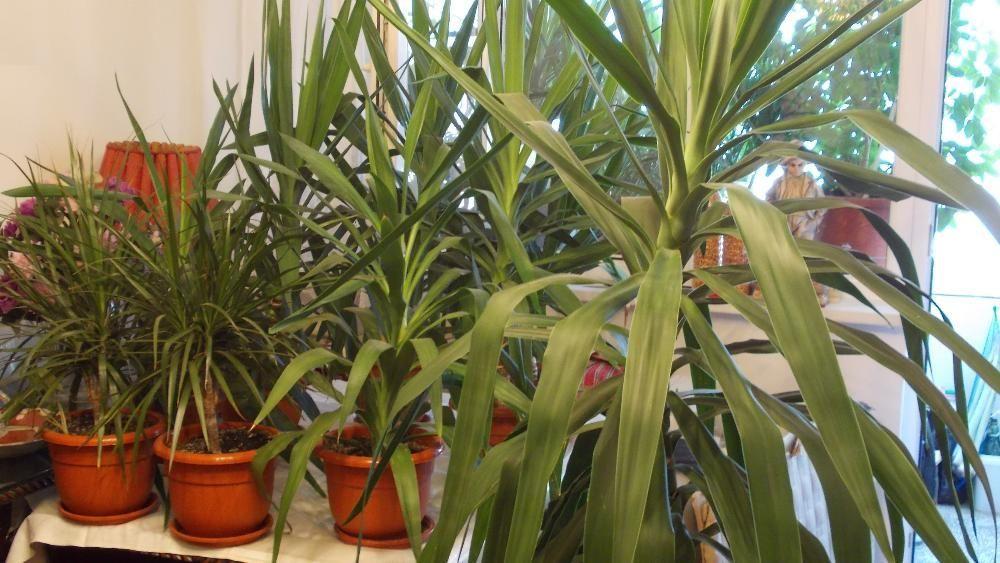 Plante exotice decorative Yucca (Yuka), Dracaena, Ficus, Leandru etc