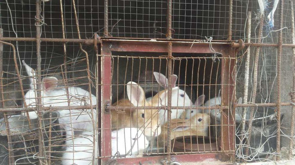 vendo coelhos bonitos, castanhos e brancos na matola mozal