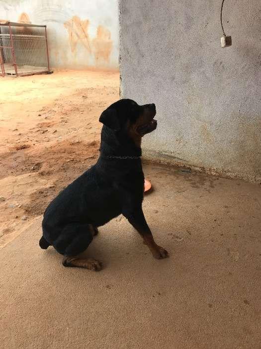 Rottweiler macho desponivel para cruzamento