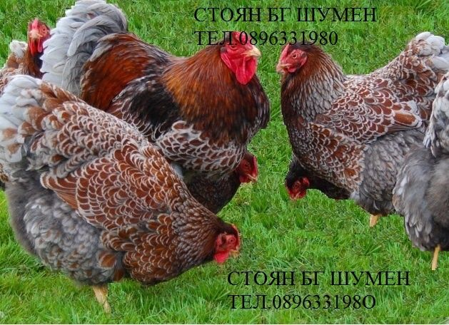 Продавам яйца за люпене от породисти кокошки