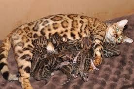 Crias de Gatos Bengal a venda