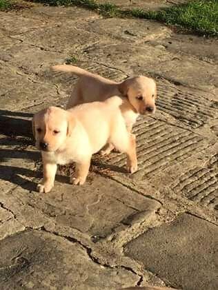 Labrador retriver já com 2 meses Maianga - imagem 1