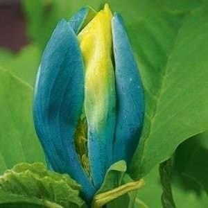 Магнолия (Blue opal)-Син Опал