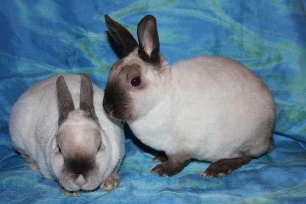 Карликовые декоративные кролики породы Рекс плюшевый