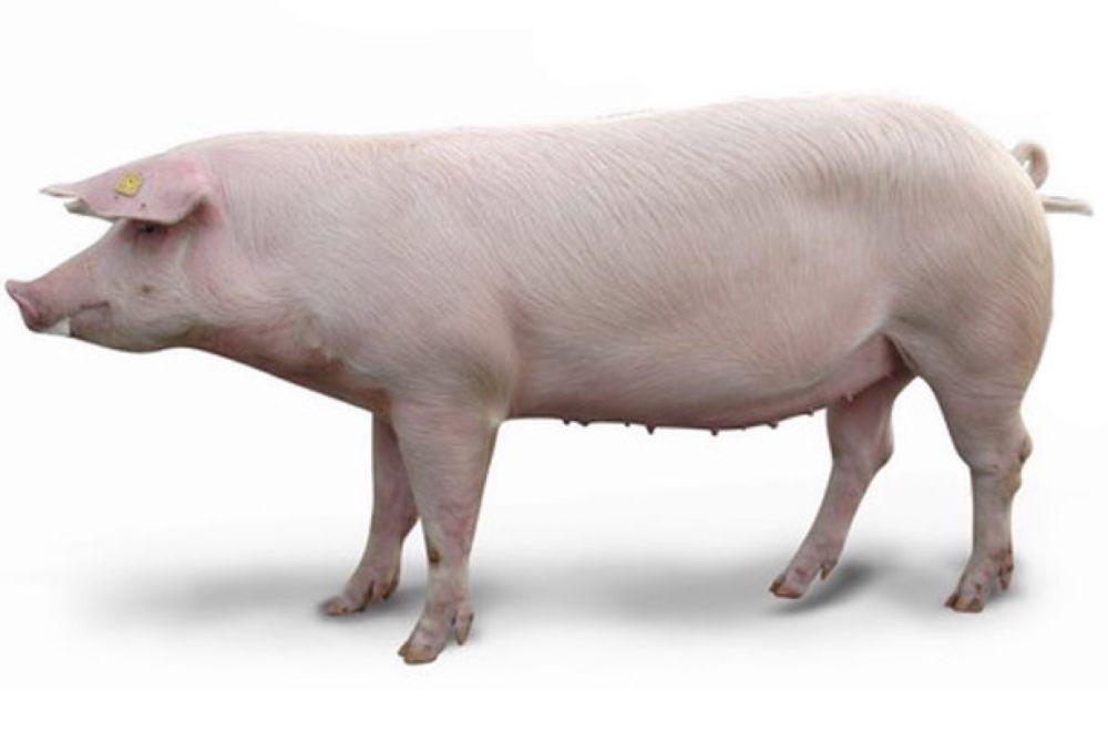 Продам домашнее мясо свинины