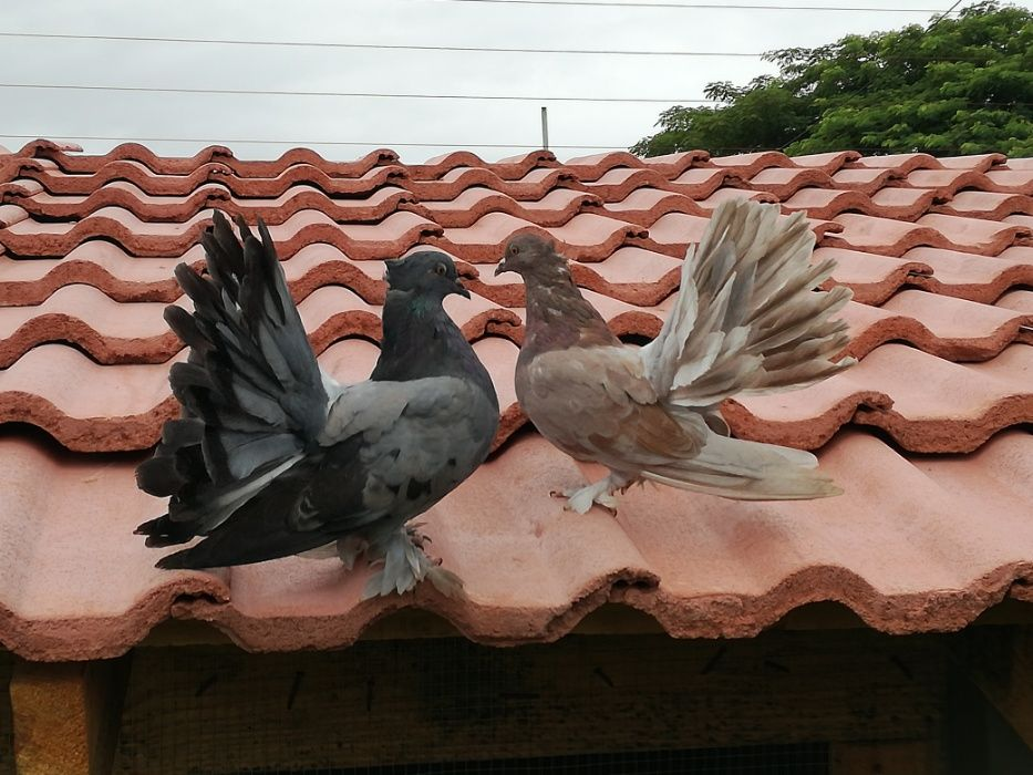 Vendo pombos