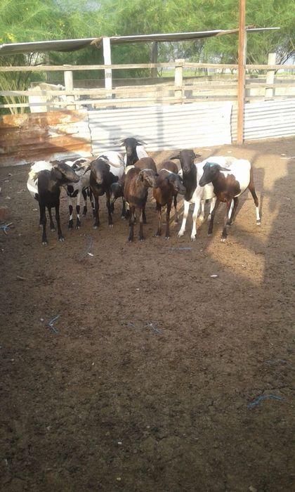 Ovelhas e carneiro