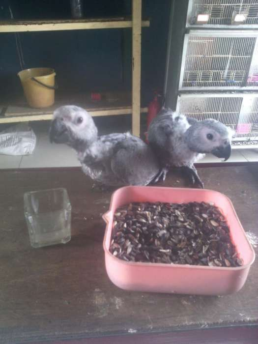 Papagaio cinzento congo bebe aproveite compre ja o seu amiguinho