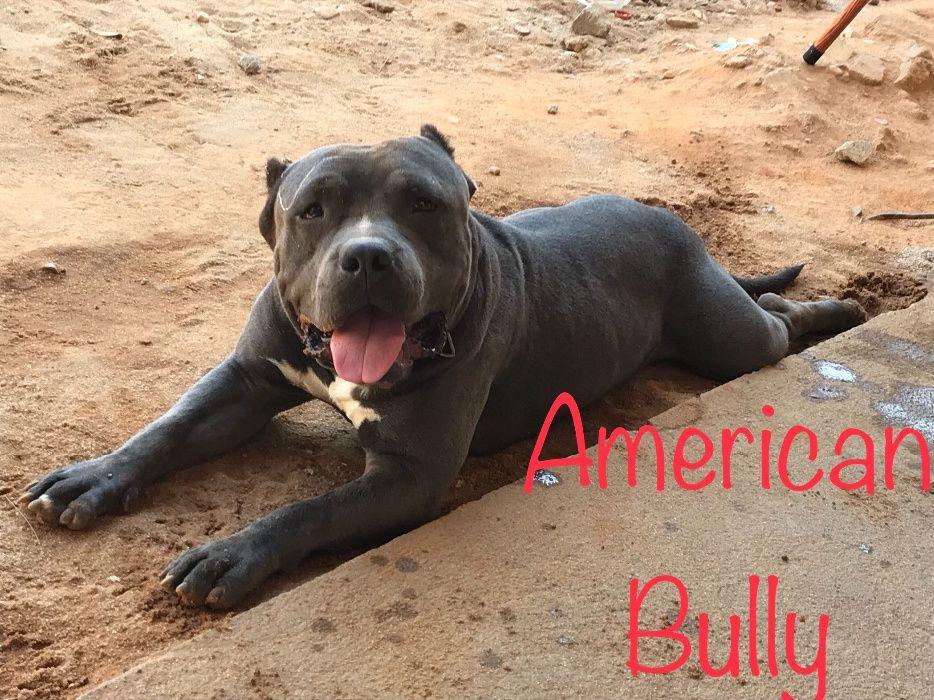 American Bully desponivel para cruzamento