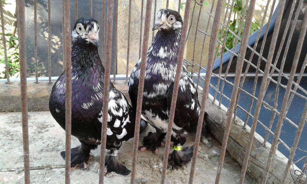 Vând porumbei încălțați de Arad ( Tipleri )