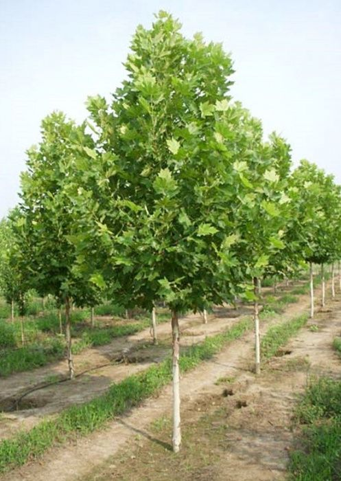 Producator arbori platan ~2m
