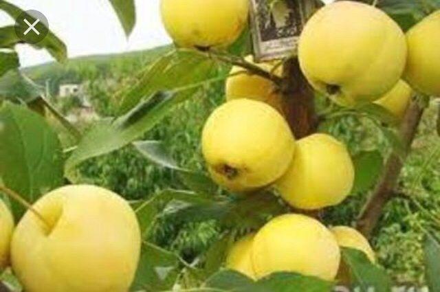 Саженцы яблони , продажа посадка