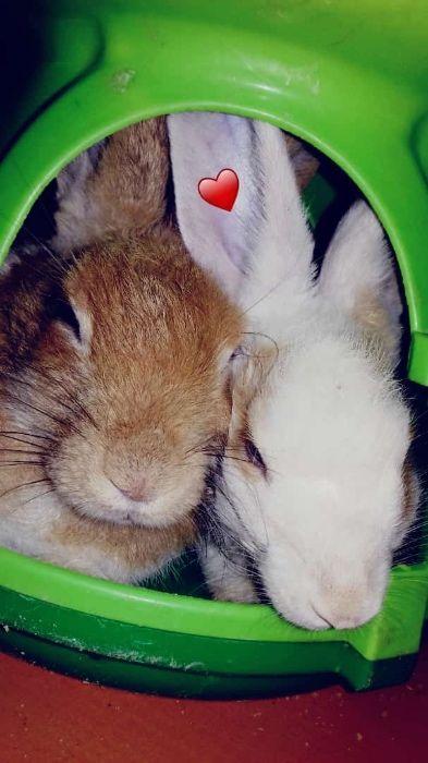Vendo um casal de coelhos