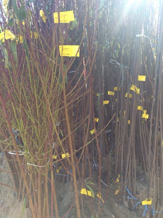 Plante ornamentale si pomi fructiferii