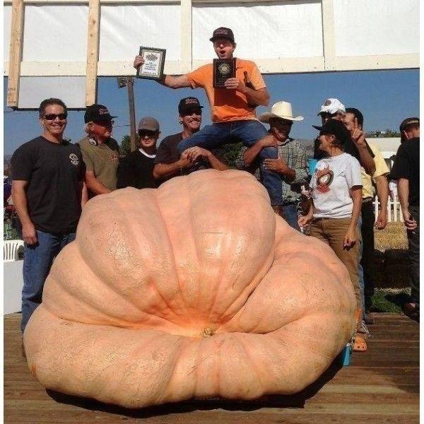 Seminte de Dovleac Atlantic Giant -dovleac gigantic 250-930kg