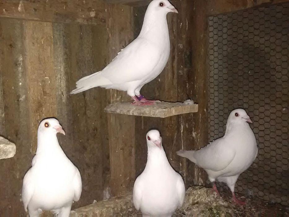 Pombos correios Brancos a Venda