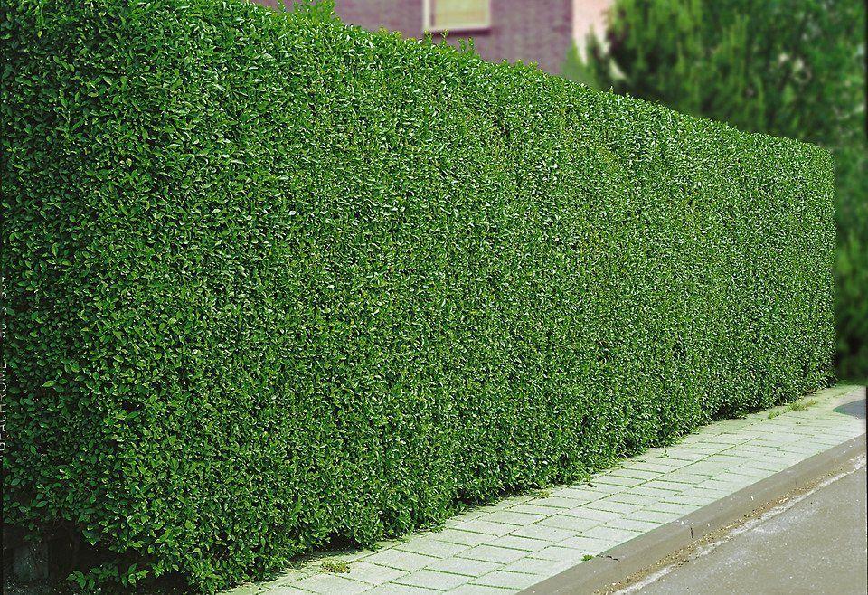 Lemn cainesc / ligustrum. Gard viu verde iarna / permanent verde