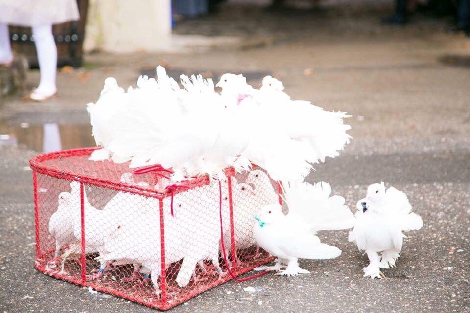Inchiriez Porumbei albi pentru nunti!