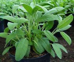 Vendo Sálvia ou Sage erva aromántica