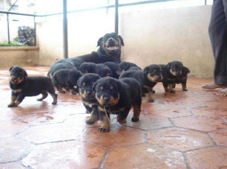 Filhotes de Rottweiler a venda