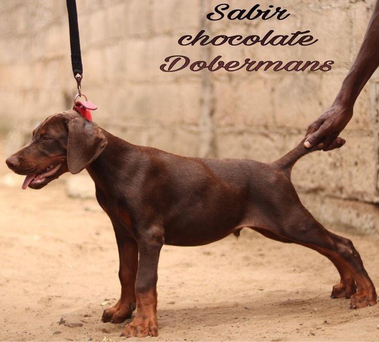 Doberman ( Large breed) macho red
