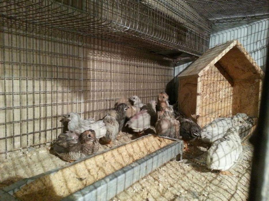 Prepelițe Chinezeasca Pitica Mogosesti - imagine 3