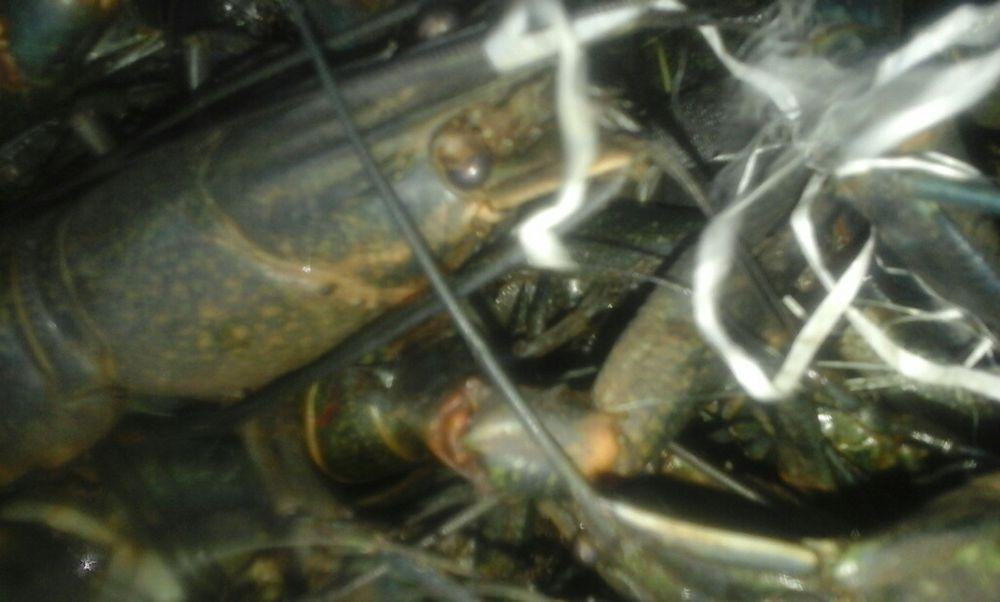 Vendo Lagostas(Água doce) Boane - imagem 3