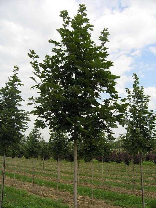 Acer platanoides ( artar cu frunza verde )